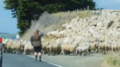 Sheep crossing the road!